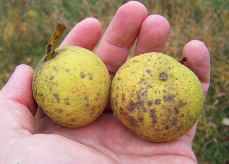 Black Walnut Fruits before removing husk.