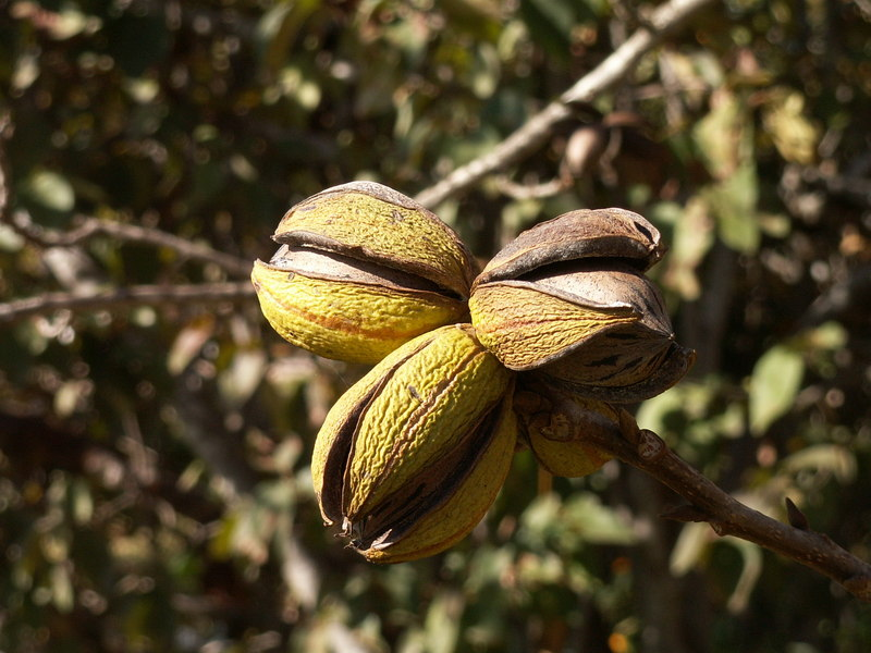 Pecan nuts on tree.