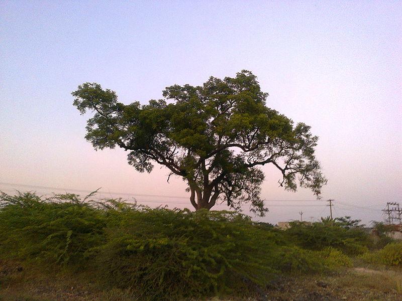 Adult Neem Tree