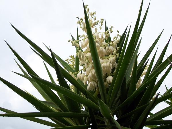 Yucca Plant Flower Cactus Flowers And Yucca