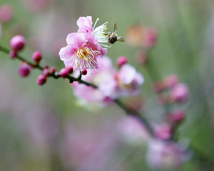 Pink Cherry Blossoms with Bee  Photographer: Chi Kin Lai