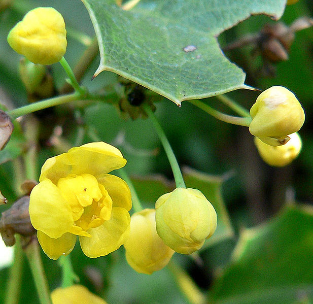 Mahonia dictoyta - Source: Stan Shebs via Wikimedia Commons