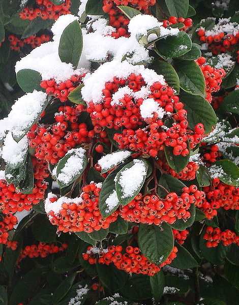 Winter Berries; source: Nick Sarebi via Wikimedia Commons