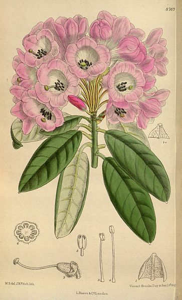 Rhododendron - Source: Curtis's Botanical Magazine, London via Wikimedia Commons