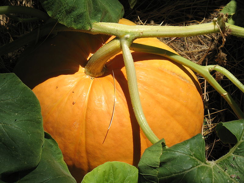 "Common ""Giant"" pumpkin variety, though not nearly as large as the Atlantic species.  CDest, Wikimedia Commons, Public Domain"