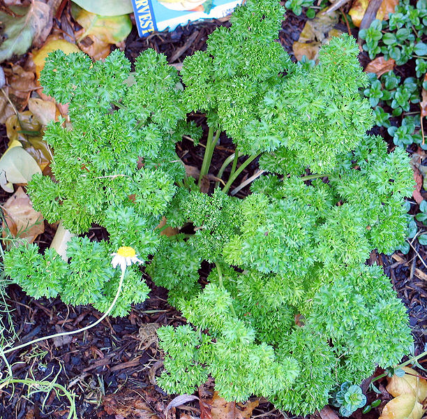 Curly leaf parsley, Donovan Govan, GNU, Creative Commons, Wikimedia Commons