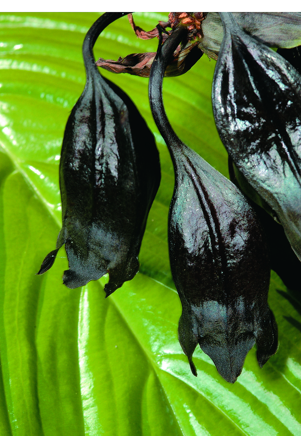 Even prior to blooming, the Black Bat Plant resembles sleeping bats hanging downward from their roost