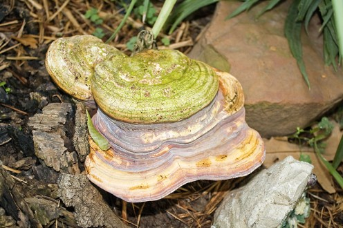 Lingshi Mushroom - Photo by: SupportStorm, Creative Commons Wikimedia Commons