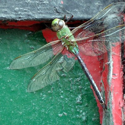 Dragonfly - Chicago Chinatown - Priscilla Chan Photography © 2012