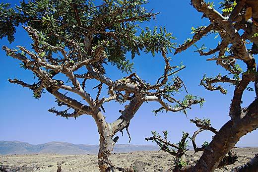 Frankincense Tree - Boswellia Sacra Tree
