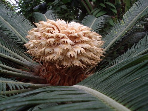 T he female reproductive structure of the sago palm (Cycas revoluta) - from the Montreal Botanical Gardens.    Source: Photographer: Nadia Prigoda, Creative Commons via Wikimedia Commons