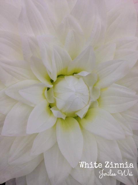 white zinnia.jpg