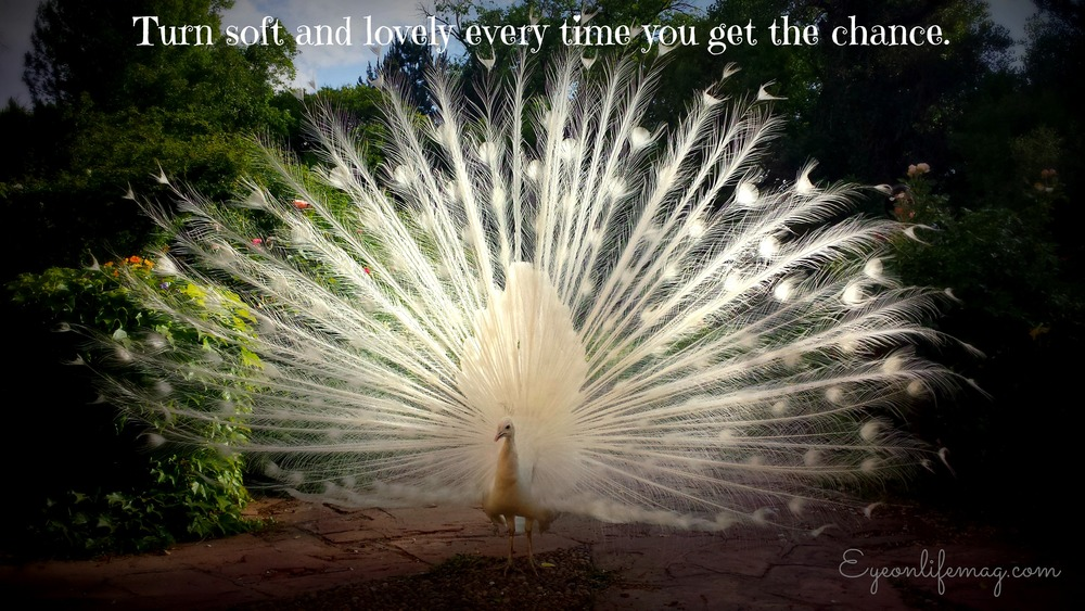 white peacock soft and lovely life quote 2.jpg