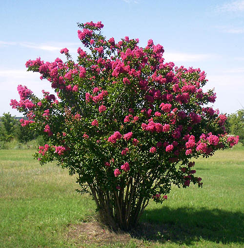 Mature Wax Myrtle tree that has been grown as a shrub.
