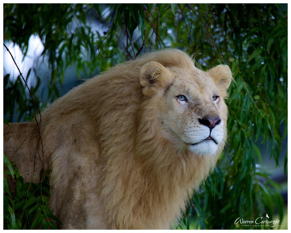 white_lion.jpg
