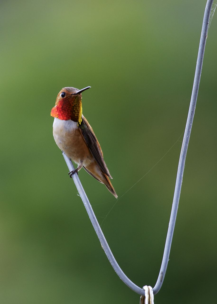 Rufous hummingbird sitting on a piece of wire.