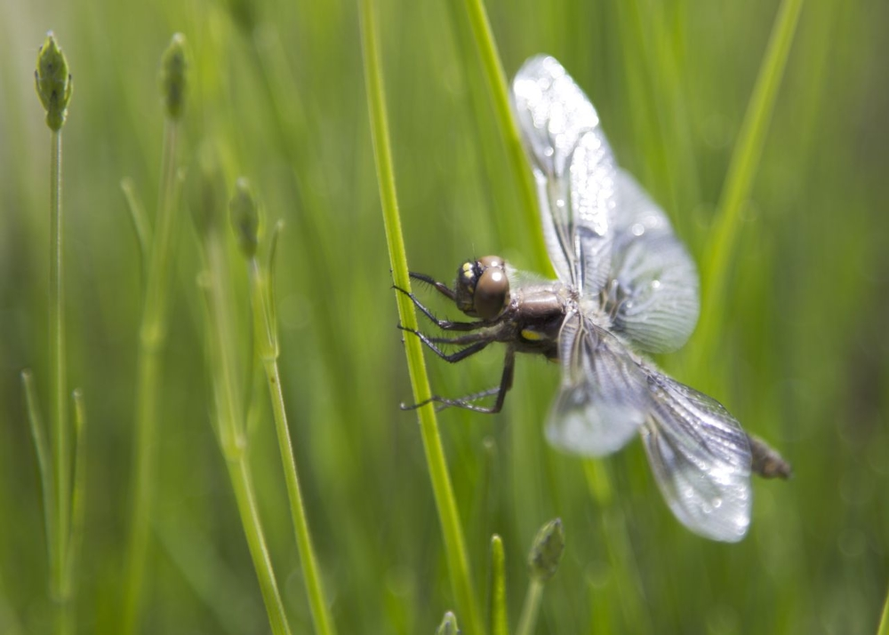 A very calm dragonfly allows me to take his portrait.
