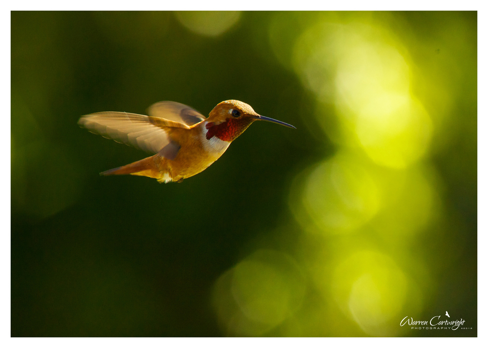 052012_rofous_hummingbird.jpg