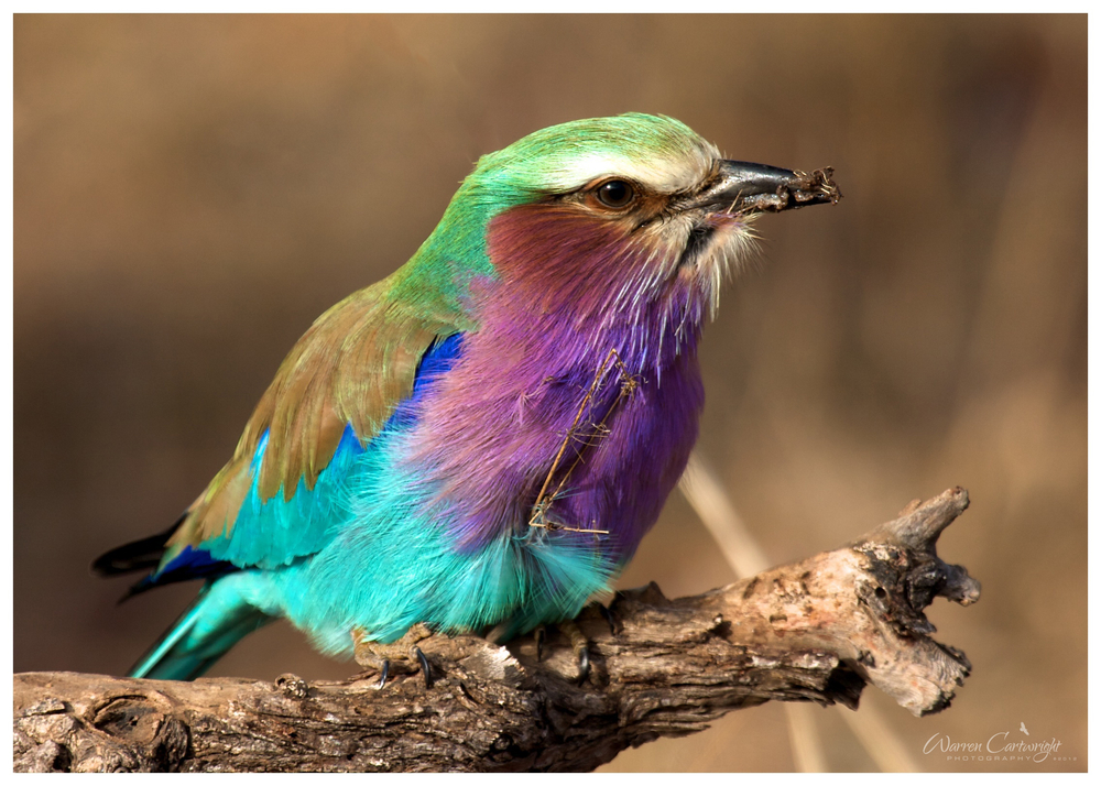 lilac_breasted_roller_bug.jpg
