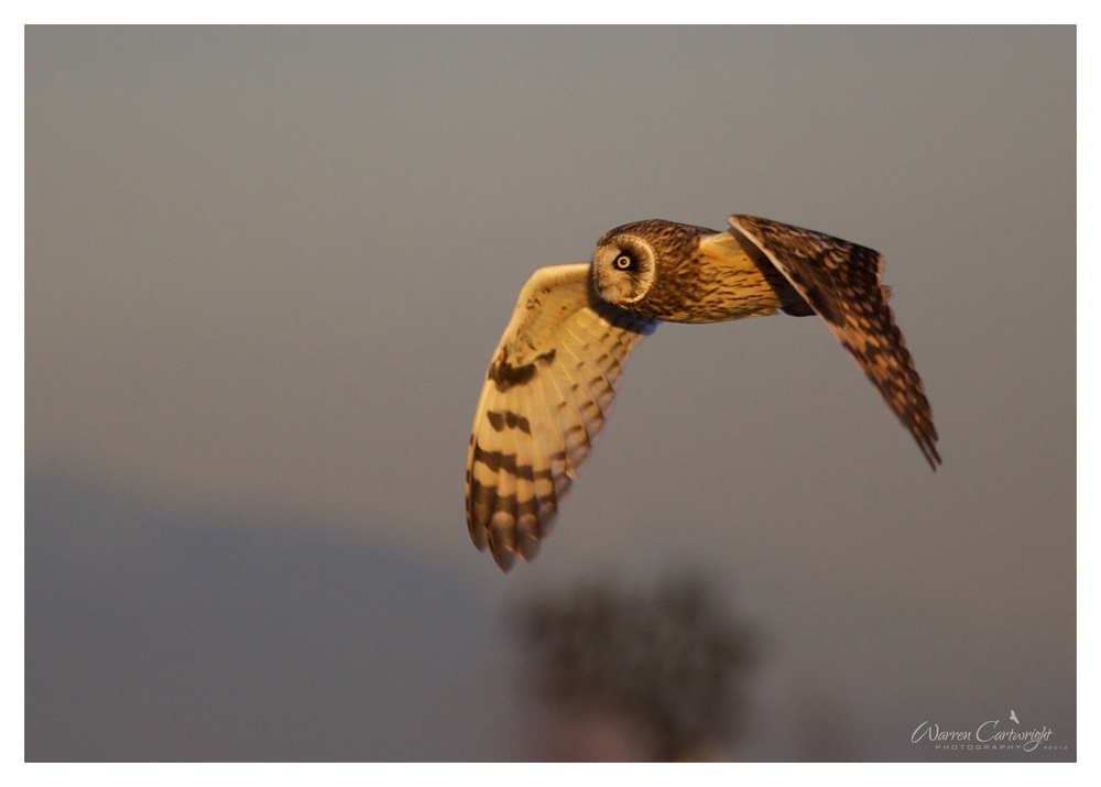 owl_in_flight.jpg