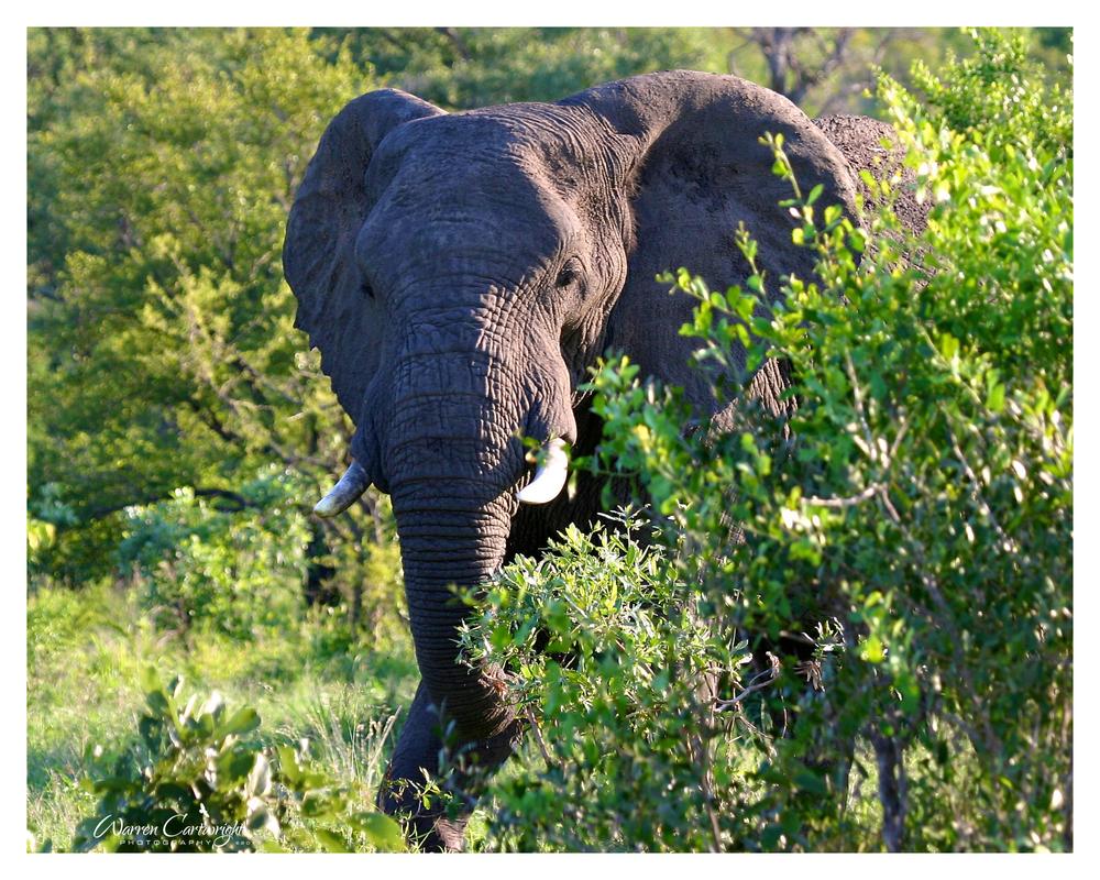 elephant_bush.jpg