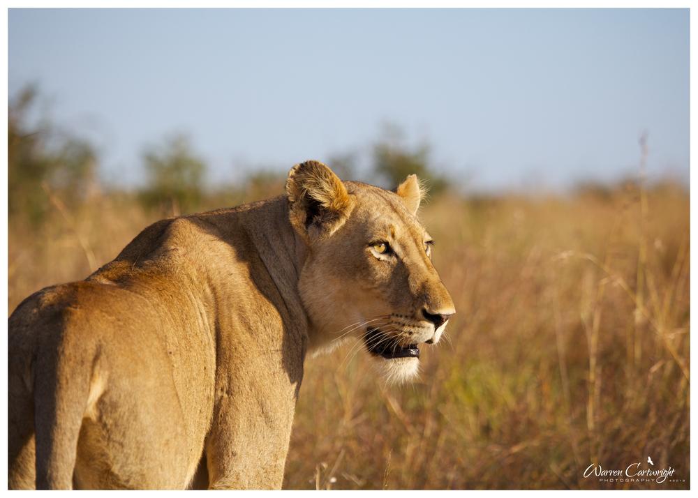 lioness_savannah.jpg