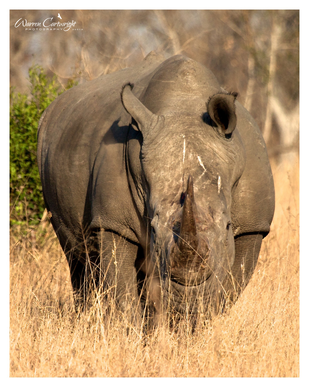 Kruger White Rhino