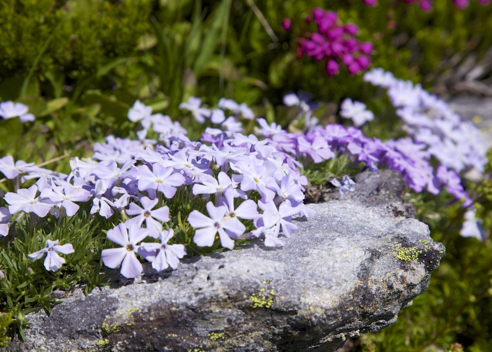 There were many places where multiple flowers were growing over the rocks in the meadows.