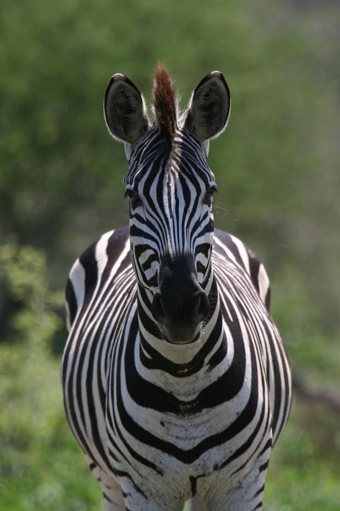 af_zebra.jpg