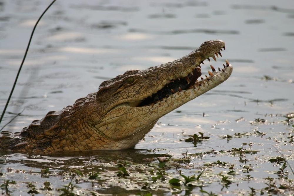 kruger_croc.jpg