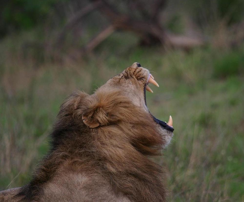 kruger_lion.jpg