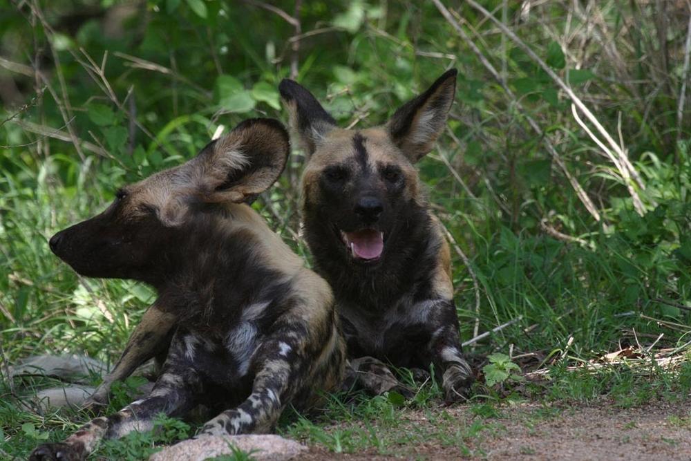 kruger_wild_dogs.jpg