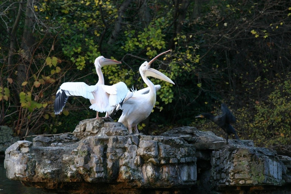 Pelicans in St. James park - who knew?