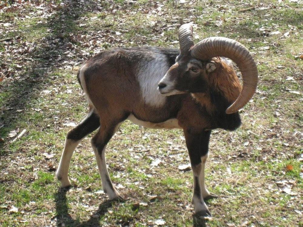 The bighorn sheep in the park