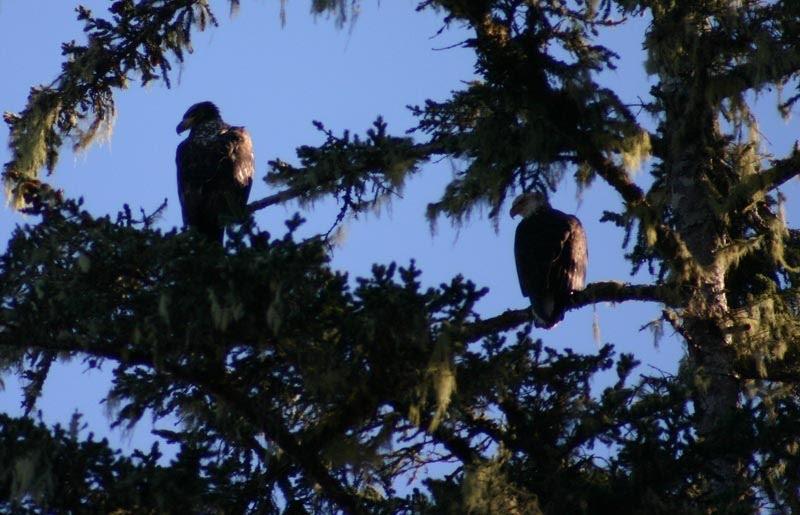 Bald eagles near Tofino, April 2006. Adult and juvenile.