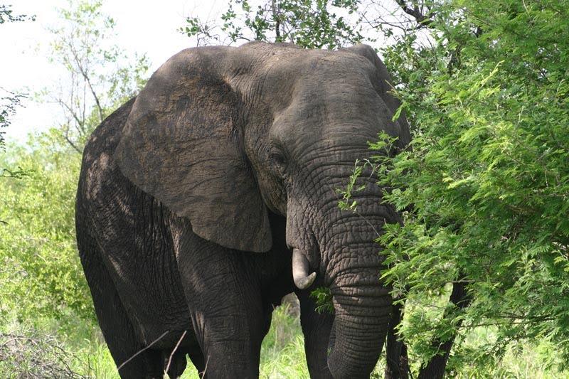 African elephant in Krugar National Park, South Africa. November 2005.