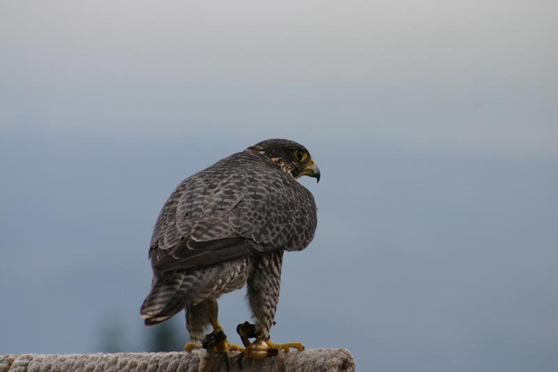 Peregrine Falcon on Grouse Mountain July 2006.