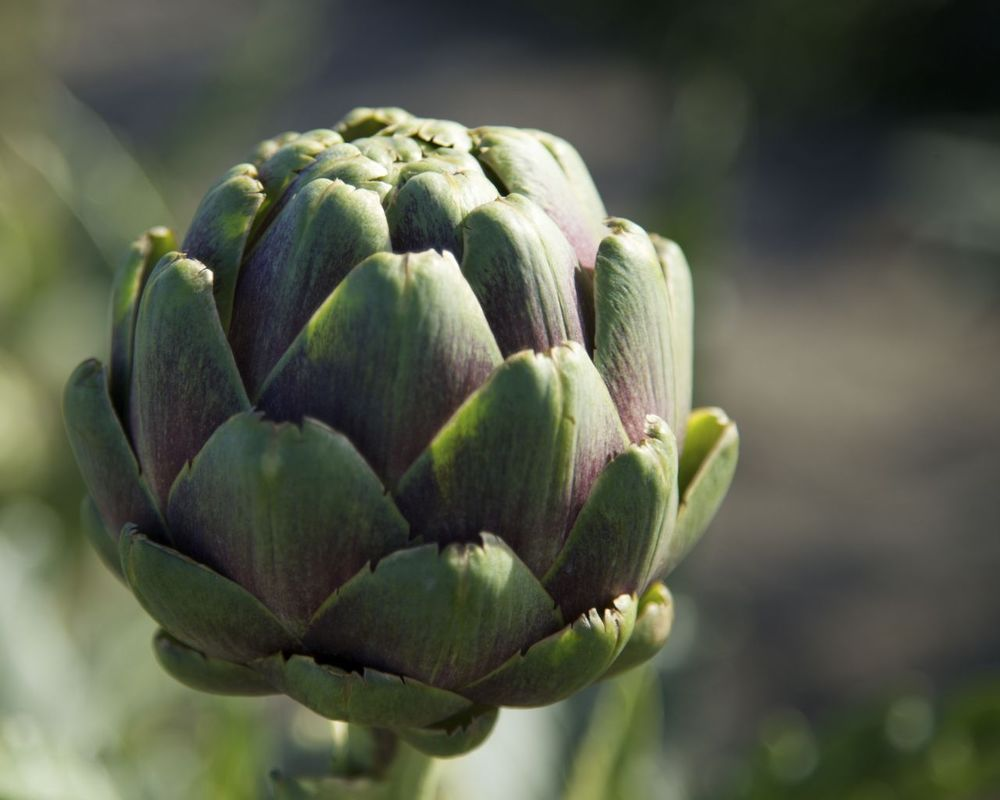 A new one for me were the artichokes. There were rows of them, and I had never seen how hey grow. They are pretty big plants.