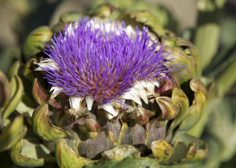 And this is what an artichoke looks like when it flowers.