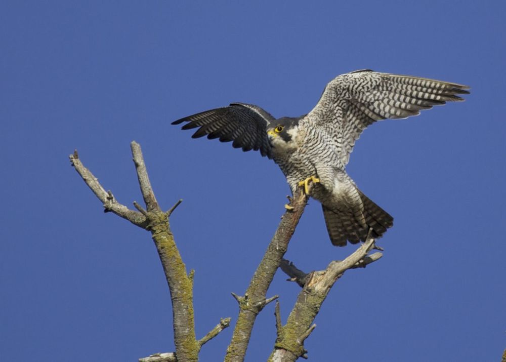 The peregrine falcon just before take off.