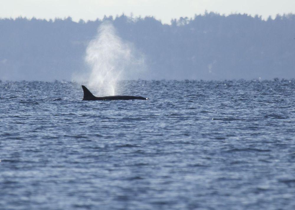 Killer whales!
