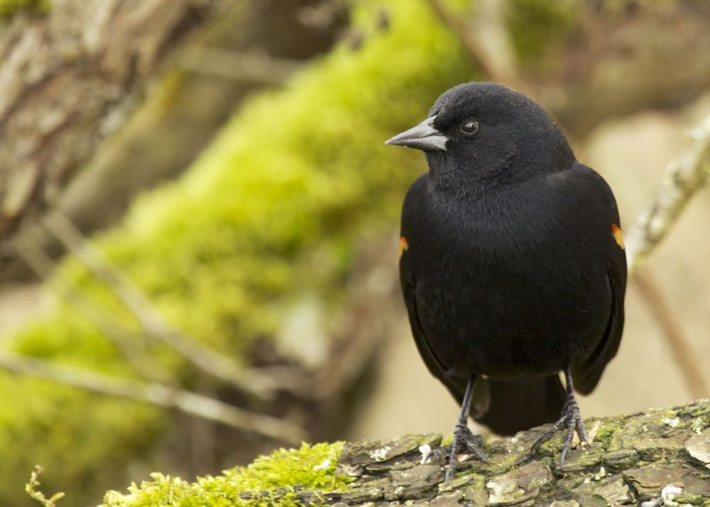 redwinged_blackbird.jpg