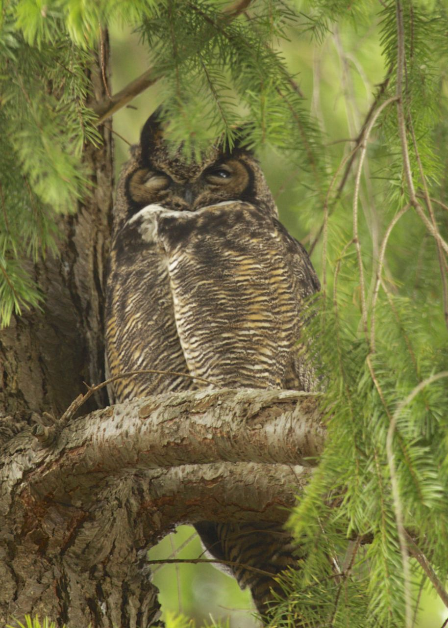 We were fortunate enough to see two owls on this trip. There was a small saw whet owl that I didn't get any pictures of this time, as well as this great horned owl, who peaked down at us with one eye.
