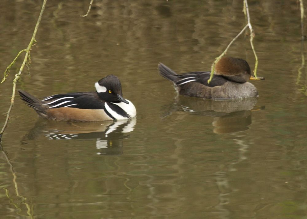 One of the less common visitors to the sanctuary, a pair of Hooded Mergansers