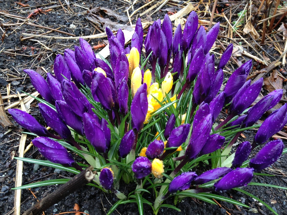 The crocuses are starting to bloom - a sure sign that spring is here!