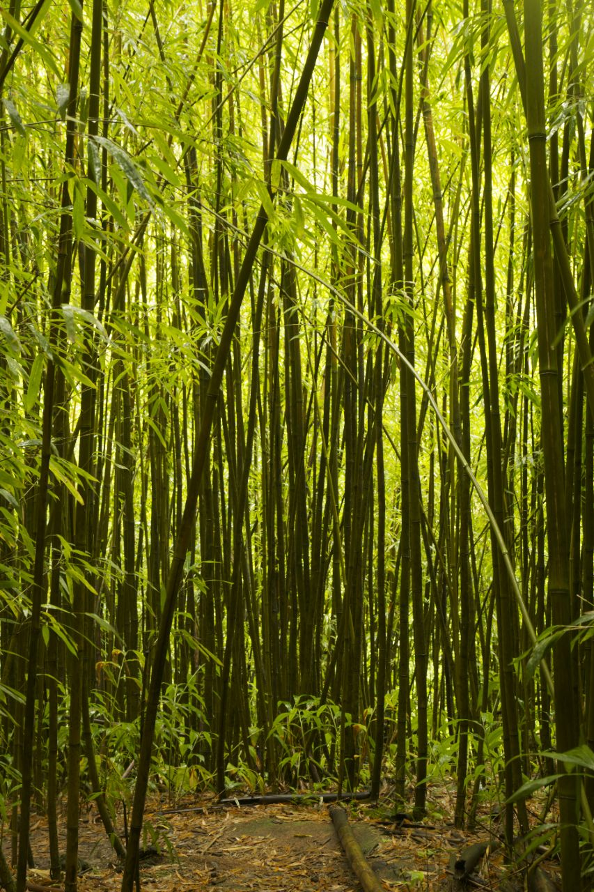 An artificial twilight hangs over the entire forest, as the bamboo filters the light.