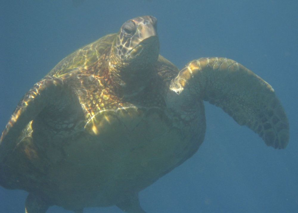 A close up of one of the many sea turtles we saw over the course of the week.