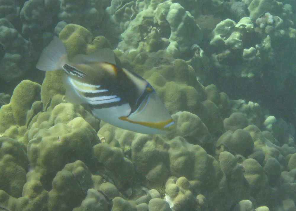 The rectangular triggerfish is Hawaii's state fish.