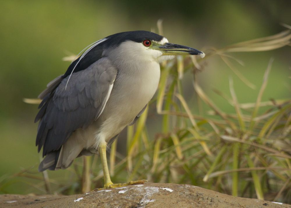 We saw this black-crowned night heron a few times over the week. One morning he was quite content to hang out in the koi pond.