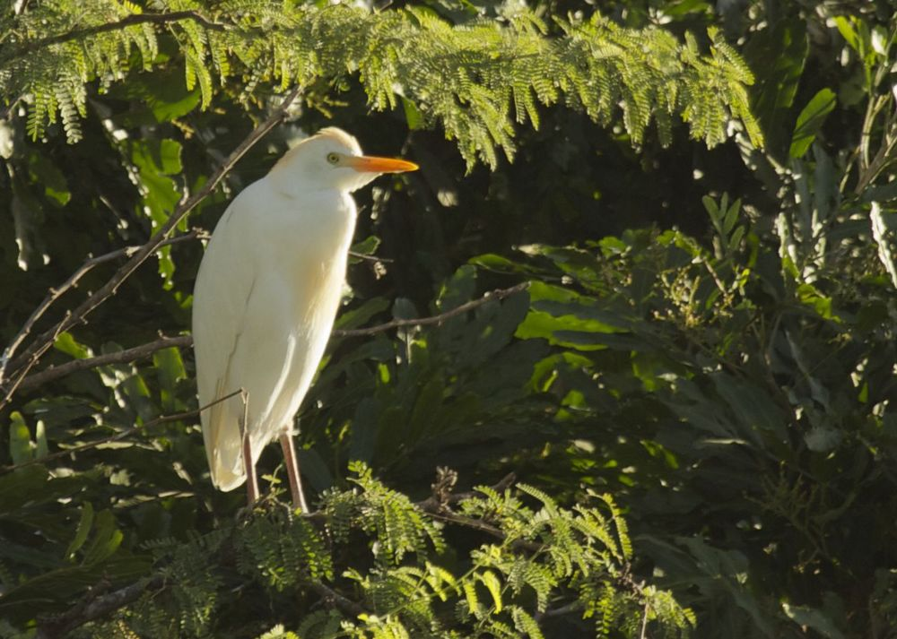 Cattle egret are also quite common. There was a tree a few hundred yards from our hotel that we could see from our room that was the night roost for dozens of the white birds.